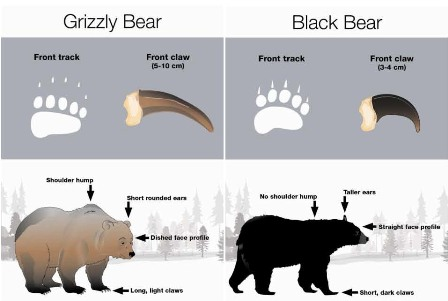 grizzly-black