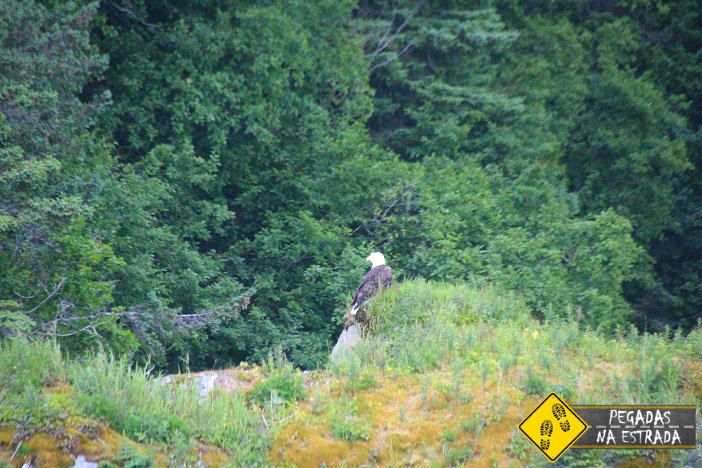 águia Alasca na natureza selvagem