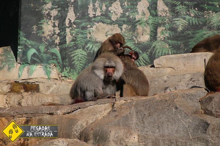 Babuíno no zoológico de Skansen. Foto: CFR / Blog Pegadas na Estrada