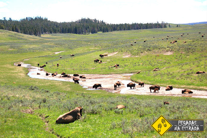 Hayden Valley Yellowstone Bison Bisão wild life