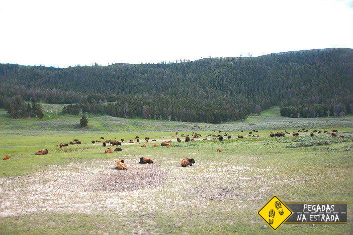 Bisões em Lamar Valley. Foto: CFR / Blog Pegadas na Estrada