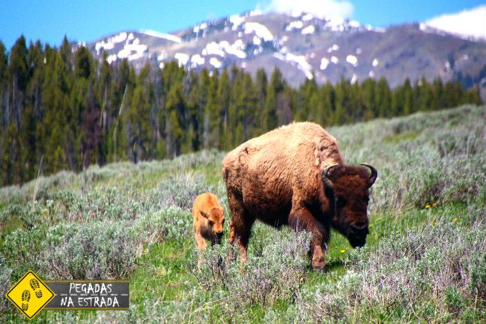 Bisão no parque Yellowstone. Foto: CFR / Blog Pegadas na Estrada