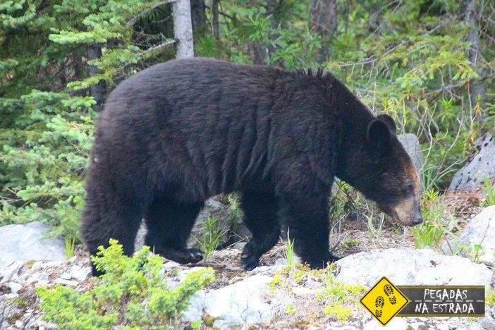 urso jasper canadá