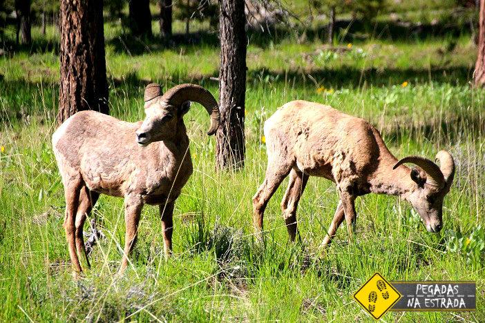 Vida selvagem Flaming Gorge parques nacionais utah carneiro selvagem