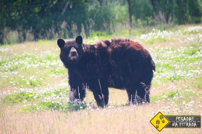 Black bear alaska