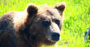 Bear Encounter: survival guide. Tips about bears and trails.