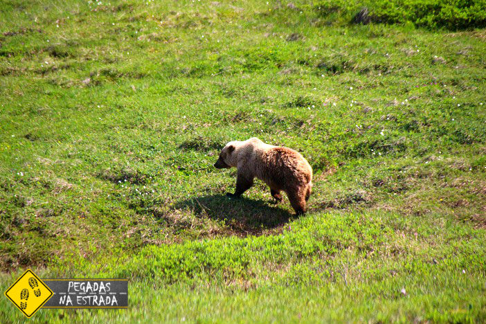 bear hump Alasca Grizzly