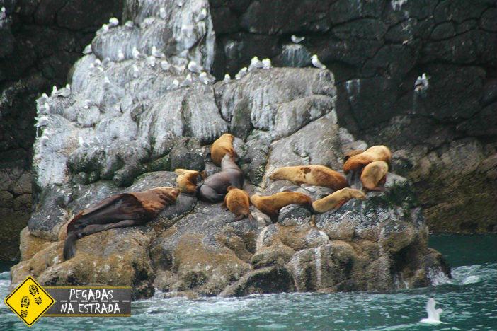 leão marinho Alasca Into the wild
