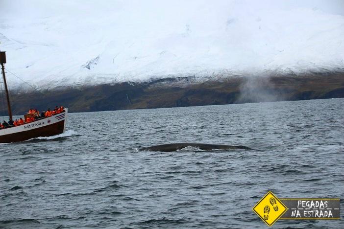 baleia Husavik Islândia