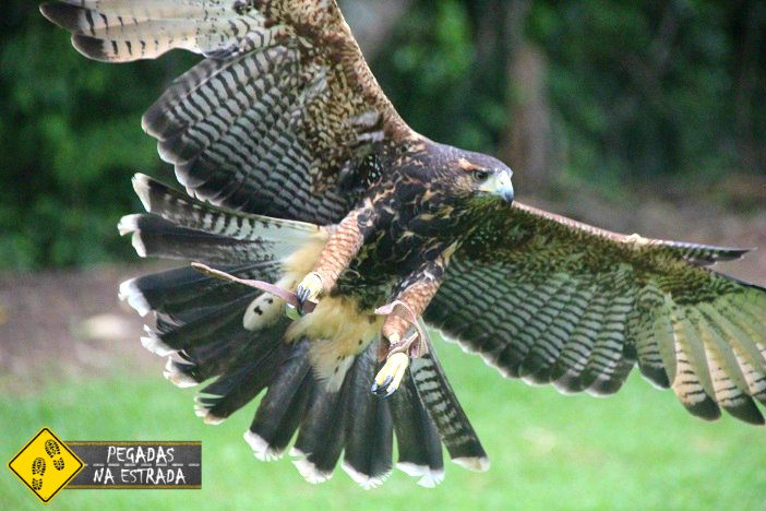 ave de rapina Monte Verde
