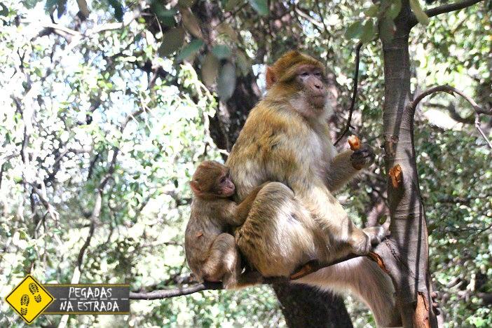 Macacos de Gibraltar na Floresta de Cedro Marrocos