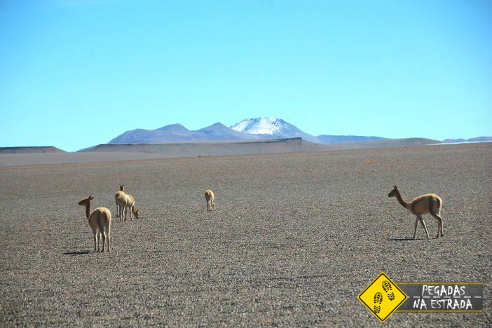 Vicuñas Atacama vida selvagem