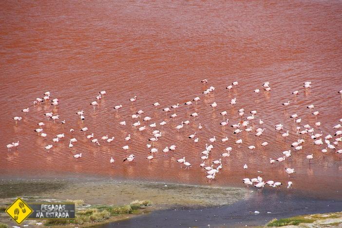 Flamingos Laguna Colorada Bolívia