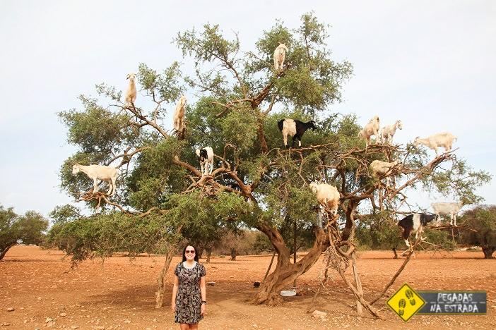 Árvore Argan cabras Marrocos Essaouira
